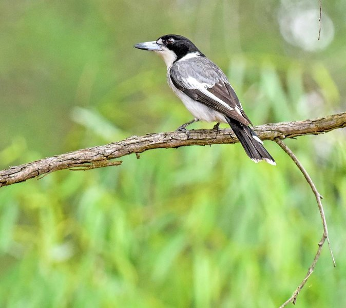 Grey Butcherbird