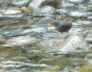 American Dipper eating the eggs of the Chum Salmon.