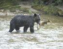 Brown Bear with a Chum Salmon.