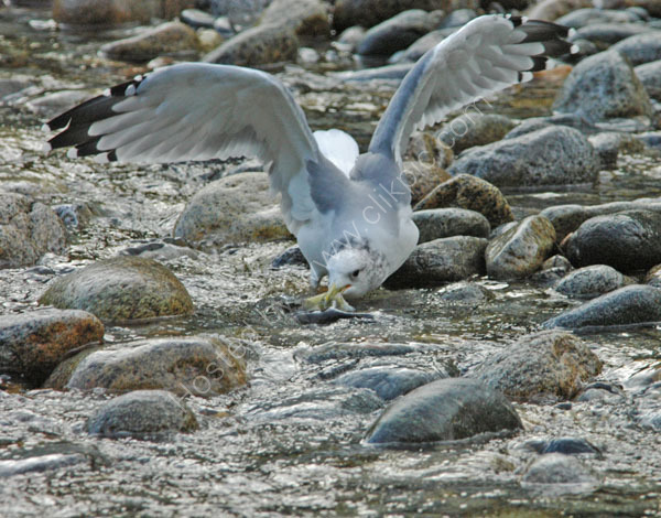 A California Gull.