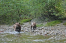 Two Brown Bears walk along the river looking for salmon.