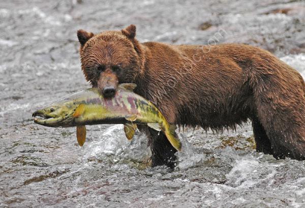 A Brown Bear with a Chum Salmon.