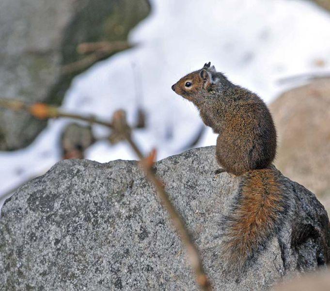 Pere David's Rock Squirrel