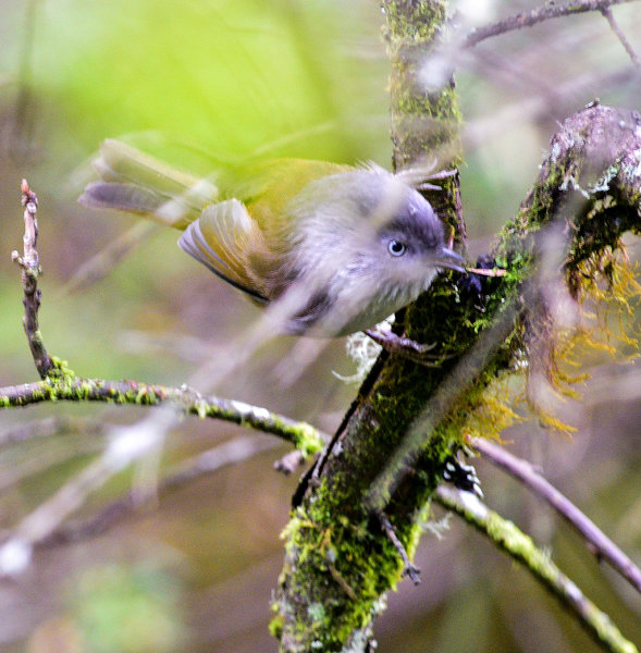 Grey-hooded Fulvetta
