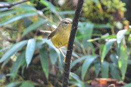 Yellow-bellied Bush Warbler