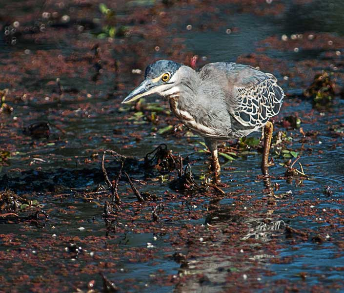Greenbacked-Heron Hunting