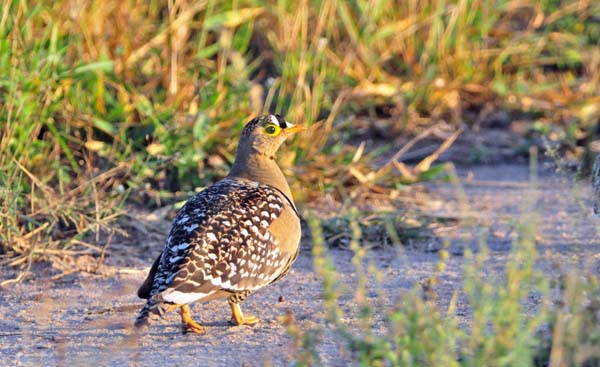 Double_banded Sandgrouse