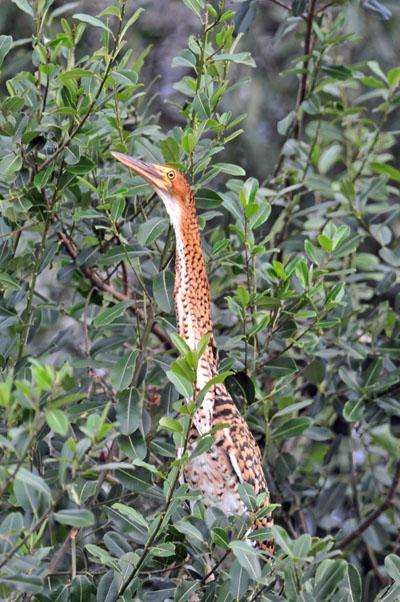 Rufescent Tiger-heron.