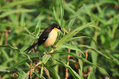 Black-capped Donacobius.