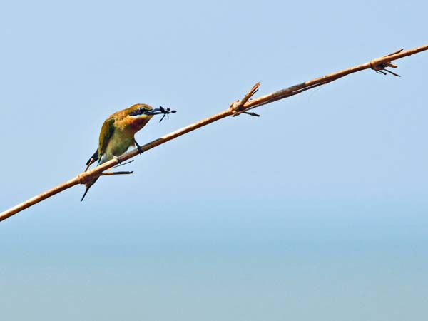 Blue-tailed Bee-eater with prey