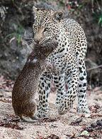 Leopard with Cane Rat