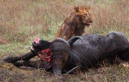 Lion with Buffalo kill in rain