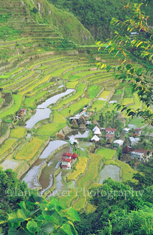 Dawn At Rice Terraces, Batad