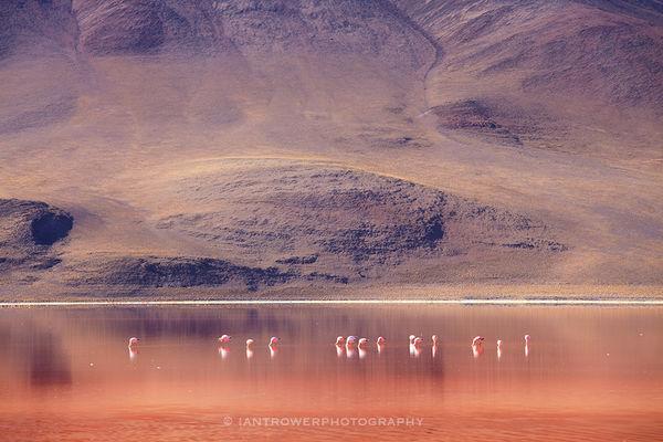 Flamingoes at Laguna Colorada