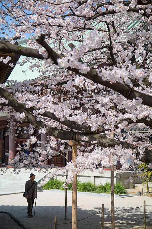 Spring blossom at Tocho-ji Temple, Fukuoka