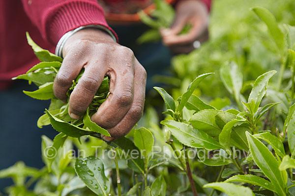 Tea picker, Nuwara Eliya