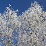 frost coverd siler birch
