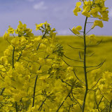 yellow rape