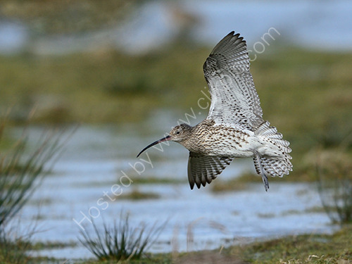 1st. Curlew coming in to land