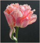 1st. Tulip Vaya Con Dios