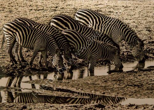 1st. Zebras drinking