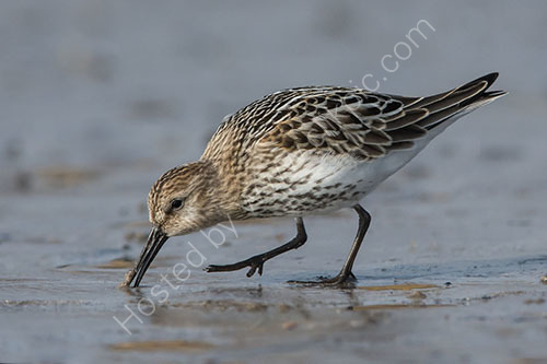 2nd. Dunlin foraging