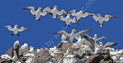 2nd.Gannets soaring over Bass Rock