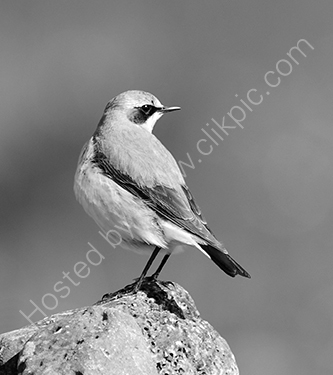 2nd. Wheatear on a beach boulder