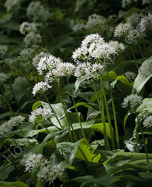 2nd. Wild garlic