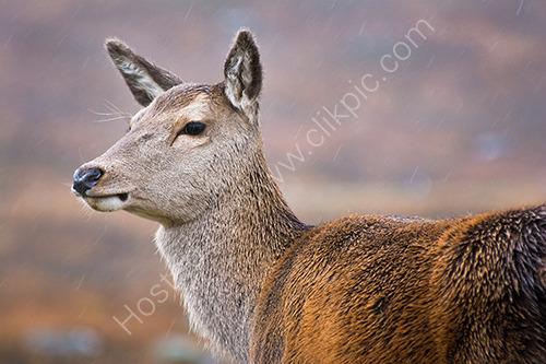 2nd. Red deer hind