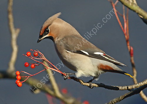 2nd. Waxwing