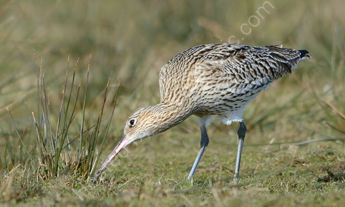 3rd. Curlew probing for worms