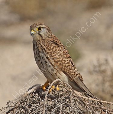 3rd. Kestrel in the desert