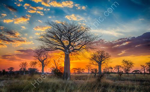 1st. Baobab sunset