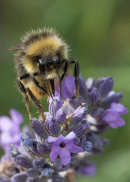 HC. Bee in lavender
