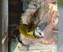 Blue tit leaving nest hole