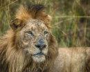 2nd. Battle scarred lion