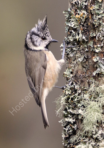 1st. Crested tit