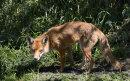 2nd.= Wary fox
