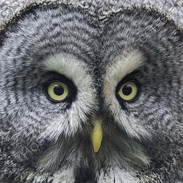 HC. Face of a grey owl