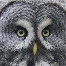 HC. Face of a grey owl