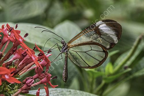 3rd. Glasswing butterfly