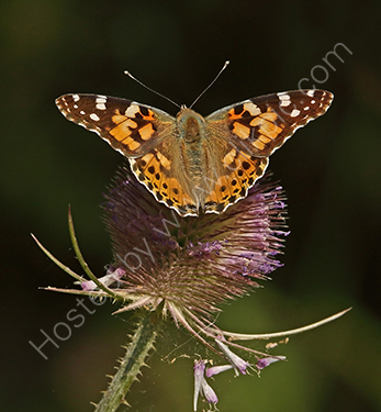 HC. Painted Lady