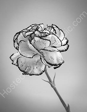 HC. Carnation