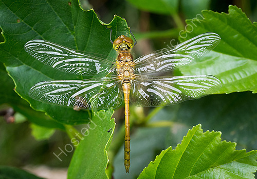 HC. Common darter