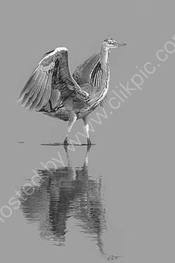 HC. Grey heron
