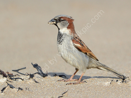 HC. House sparrow with sand hoppers