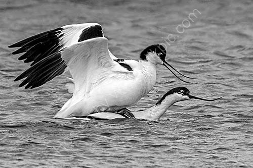 HC. Mating avocets