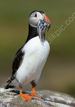 HC. Puffin with sand eels
