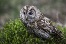 HC. Tawny Owl on the look out